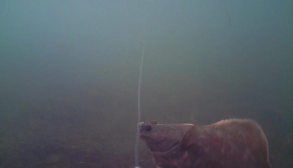 Fladfisk under overfladen