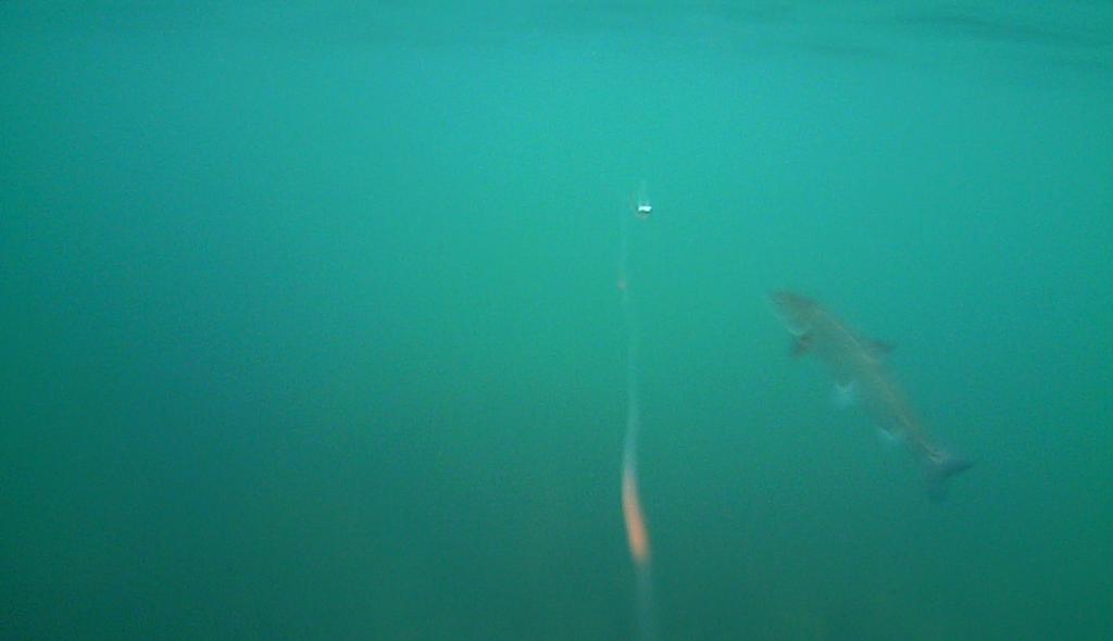 Havørred fiskeri med stripperen under overfladen (14)