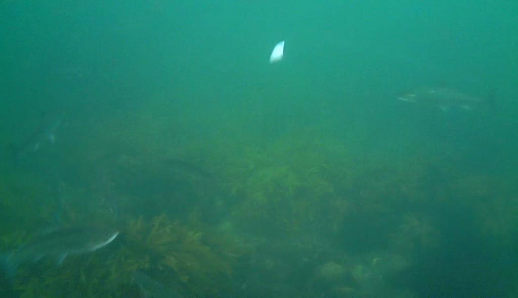 Havørred fiskeri med stripperen under overfladen (18)