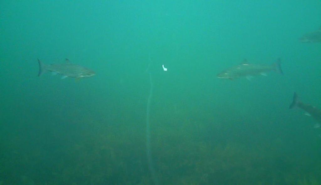 Havørred fiskeri med stripperen under overfladen (4)