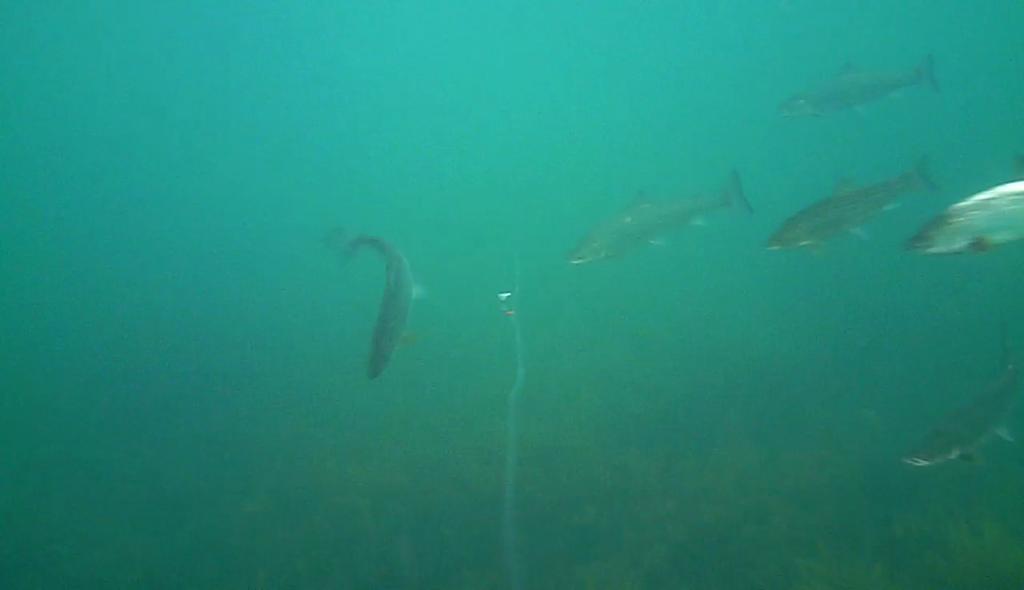 Havørred fiskeri med stripperen under overfladen (5)