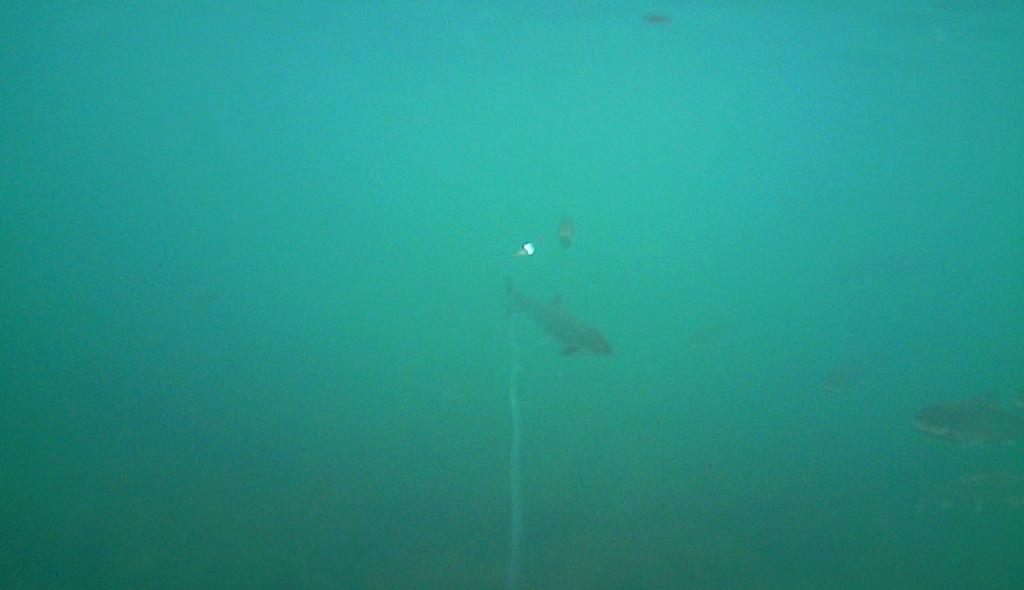 Havørred fiskeri med stripperen under overfladen (7)