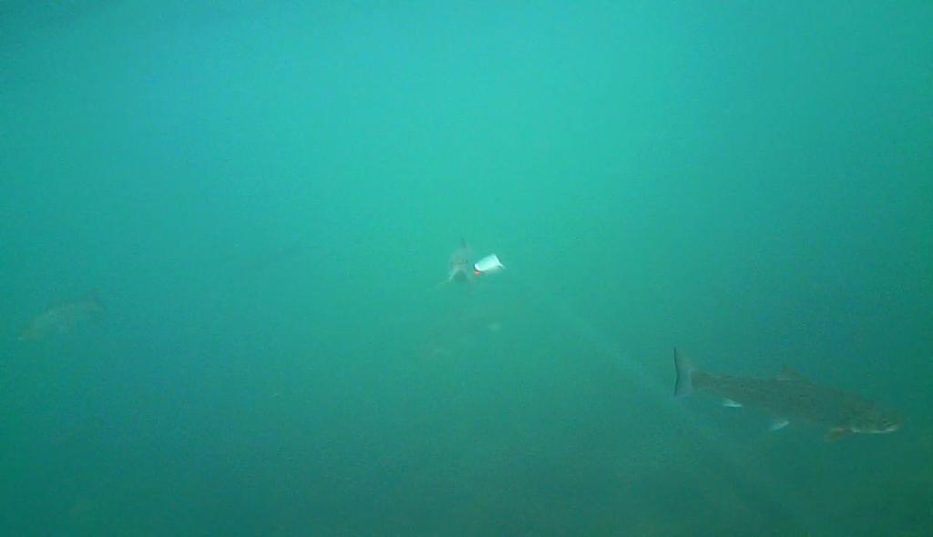 Havørred fiskeri med stripperen under overfladen (8)