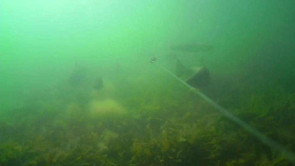 Havørreder-under-overfladen-Moesgård Strand-05.06.2017-05