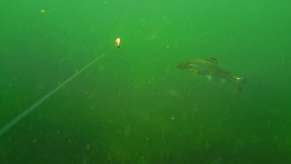 Fiskeri-under-overfladen-havørred-Lolland-25.-juli-02