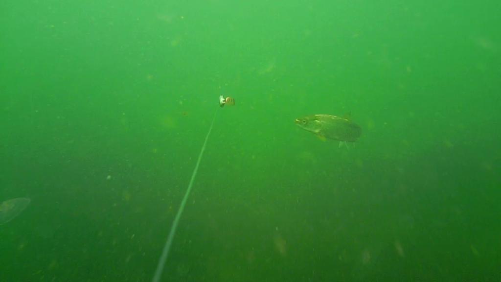 Fiskeri-under-overfladen-havørred-Lolland-25.-juli-03