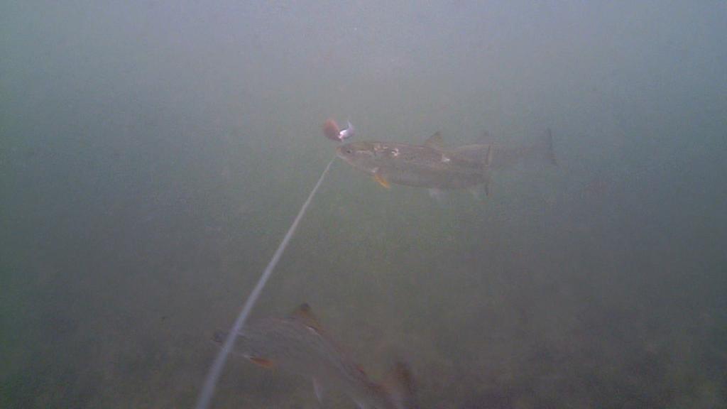 Fiskeri-under-overfladen-havørred-Lolland-28.-juli-02
