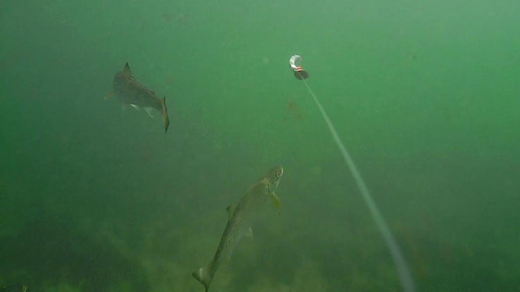 Fiskeri-under-overfladen-havørred-Lolland-28.-juli-05