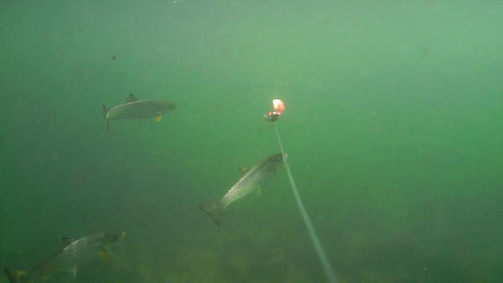 Fiskeri-under-overfladen-havørred-Lolland-28.-juli-06