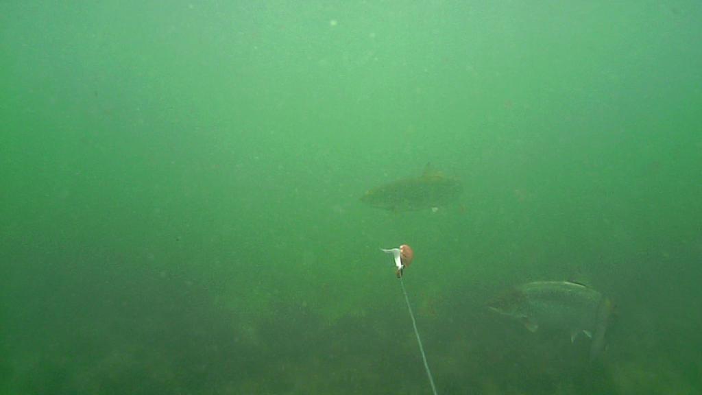 Fiskeri-under-overfladen-havørred-Lolland-28.-juli-forside4