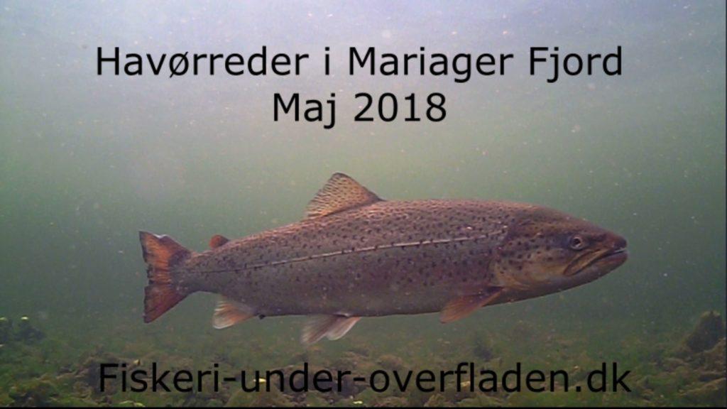 Havørreder i Mariager Fjord 3. maj 2018 (1) forside